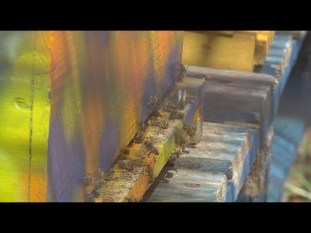 La Paillade : Original! Des abeilles dans la cité.